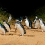 Day 31: Phillip Island Penguine Parade