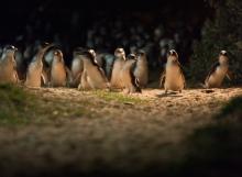 penguinparade4